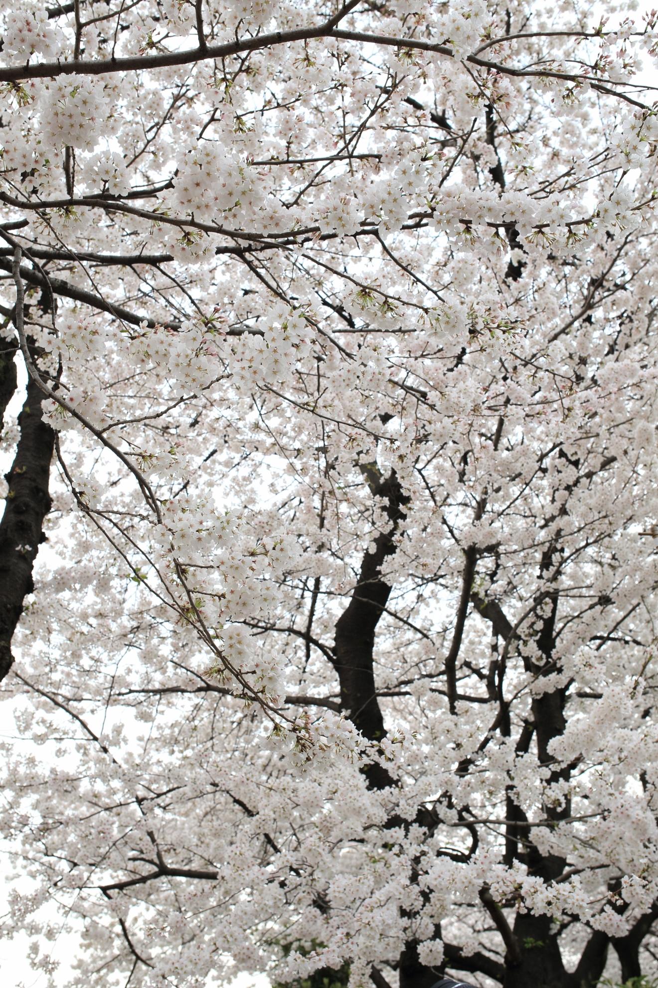 【WL写真部】 隅田公園 2013年3月24日